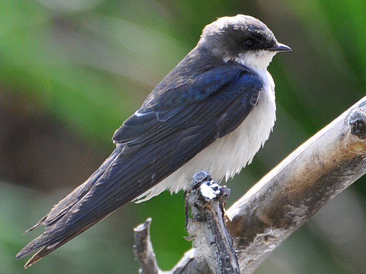 Tree Swallow TRES