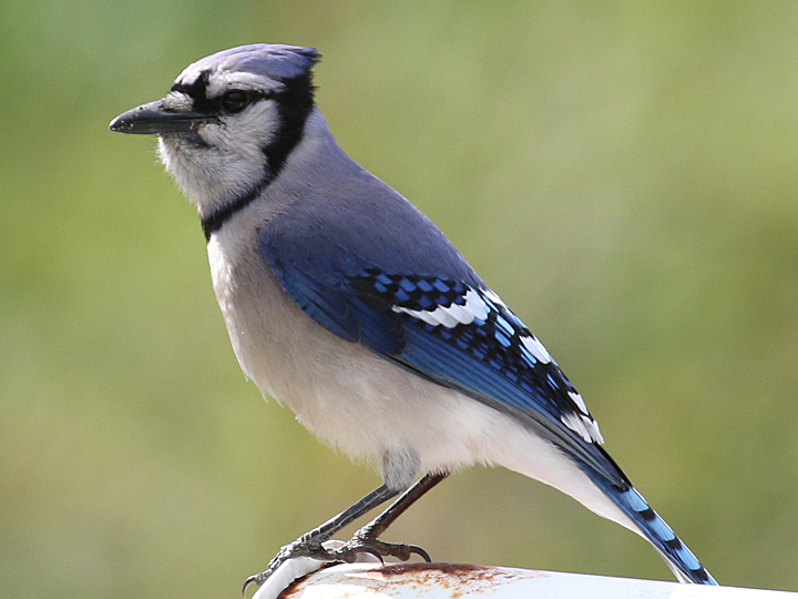 Blue Jay BLJA