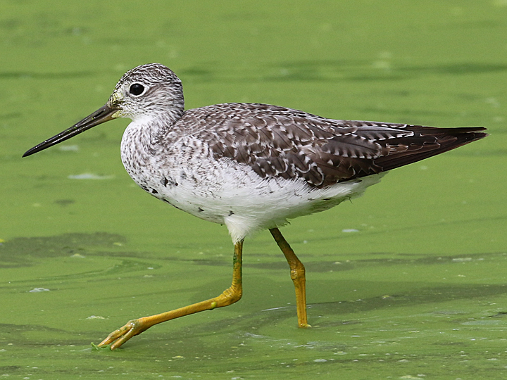 Greater Yellowlegs GRYE