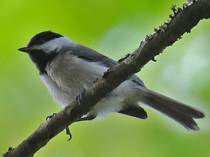 Carolina Chickadee CACH