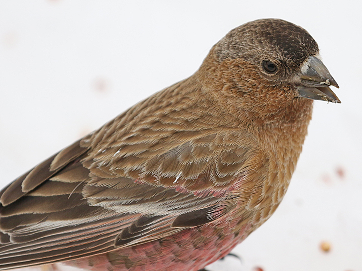 Brown-capped Rosy-Finch BCRF