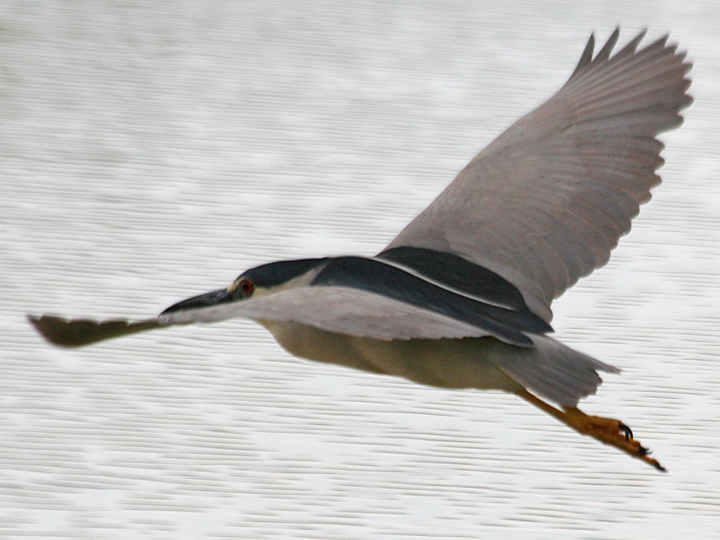 Black-crowned Night-Heron BCNH