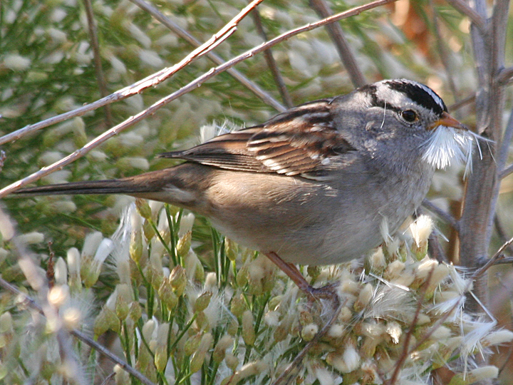 White-crowned Sparrows WCSP