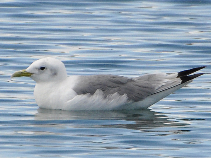 Black-legged Kittiwake BLKI