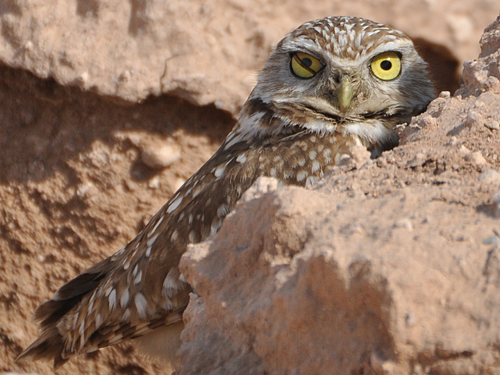 Burrowing Owl BUOW