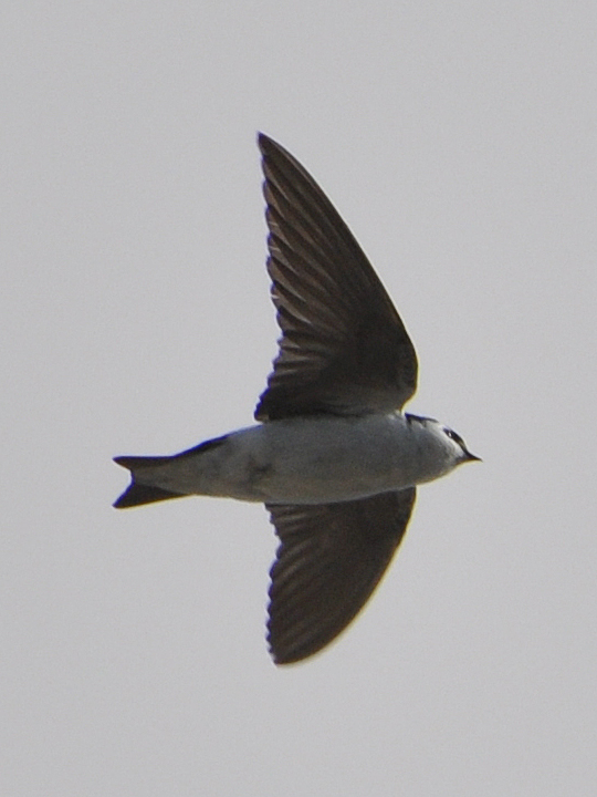 Violet-green Swallow VGSW