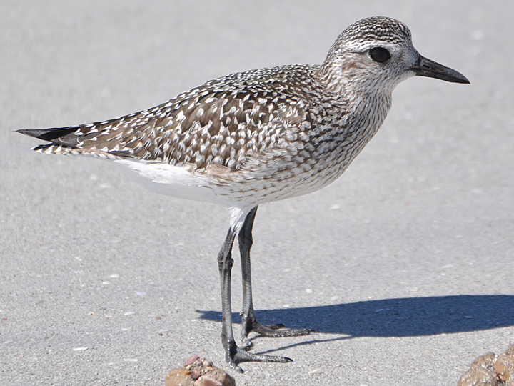 Black-bellied Plover BBPL juvenile