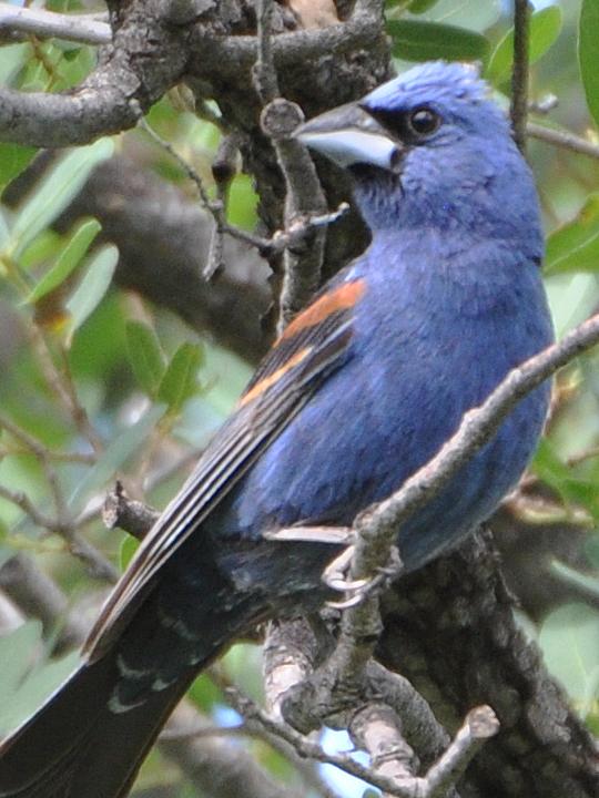 Blue Grosbeak BLGR