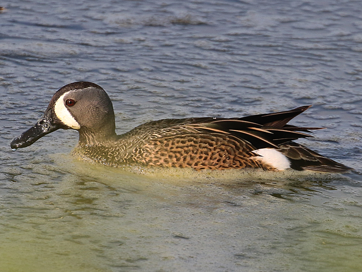 Blue-winged Teal BWTE