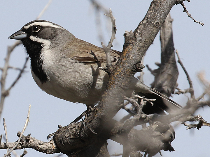 Black-throated Sparrow BTSP
