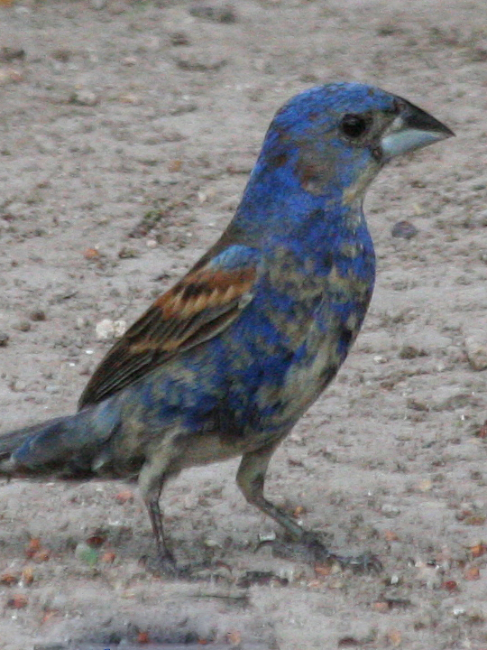 Blue Grosbeak BLGR