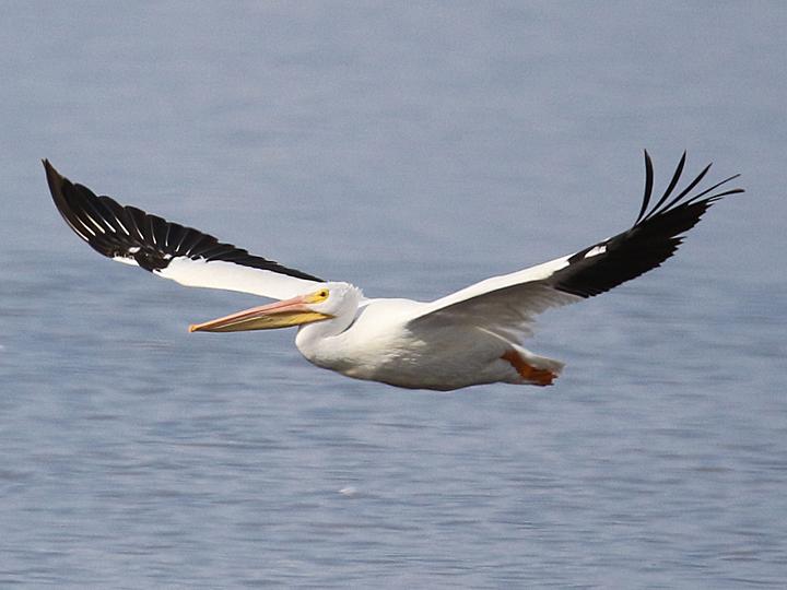 American White Pelican AWPE