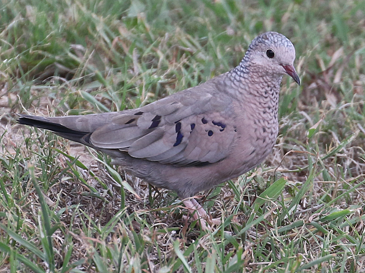 Common Ground-Dove COGD