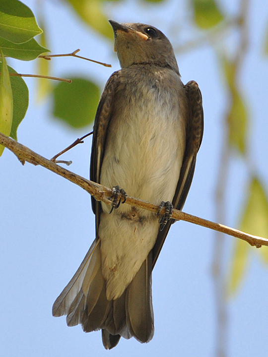 Northern Rough-winged Swallow NRWS