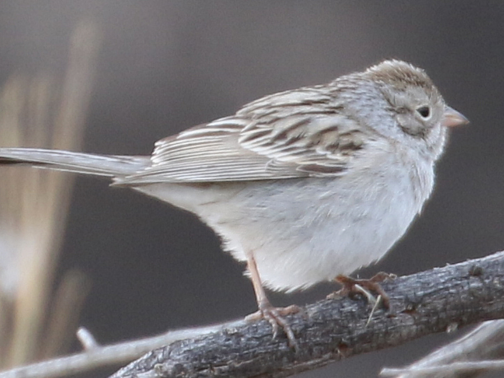 Brewer's Sparrow BRSP