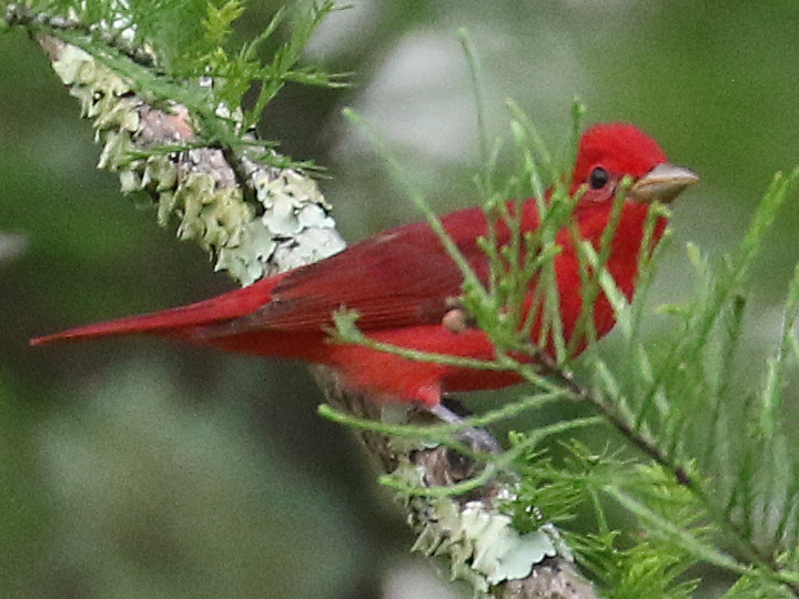Summer Tanager SUTA