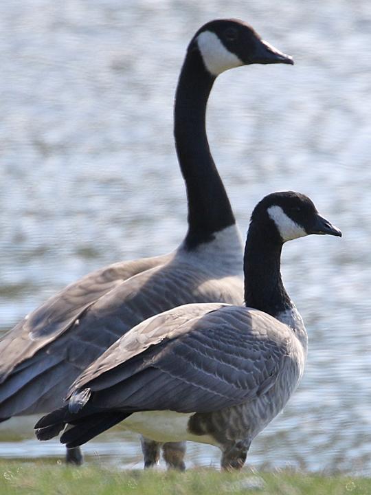 Cackling Goose CACG
