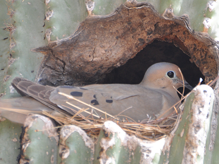 Mourning Dove MODO