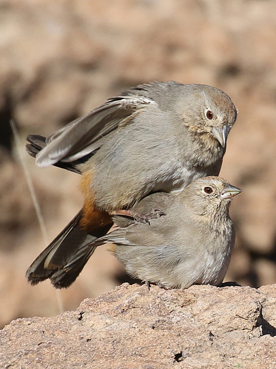 Canyon Towhee CANT