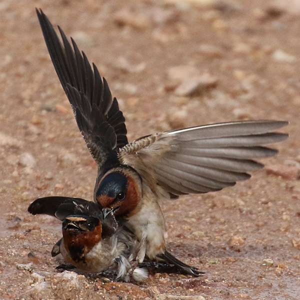 Cliff Swallow CLSW