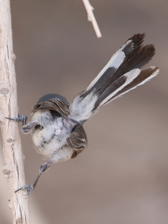 Black-tailed Gnatcatcher BTGN