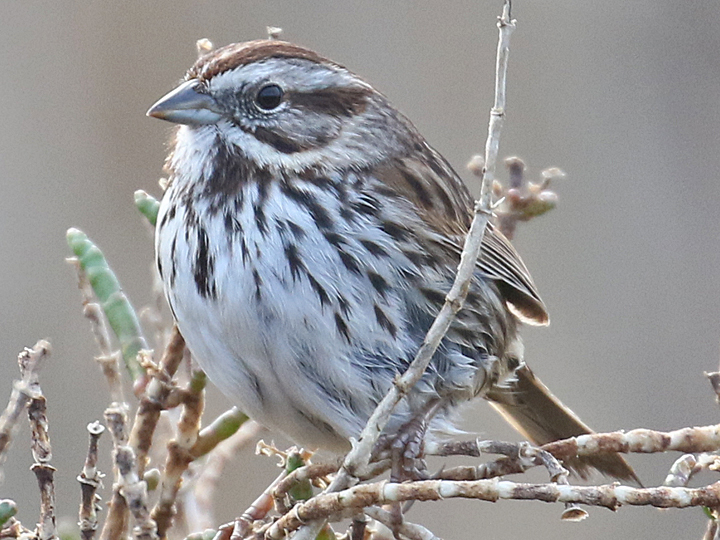Song Sparrow SOSP