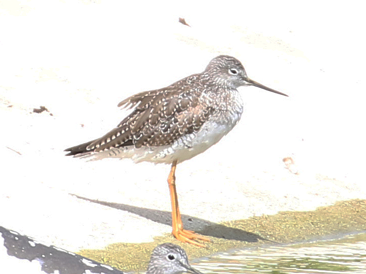 Lesser Yellowlegs LEYE