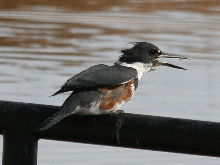 Belted Kingfisher BEKI
