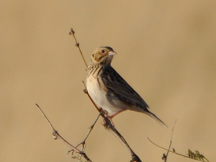 Baird's Sparrow BAIS