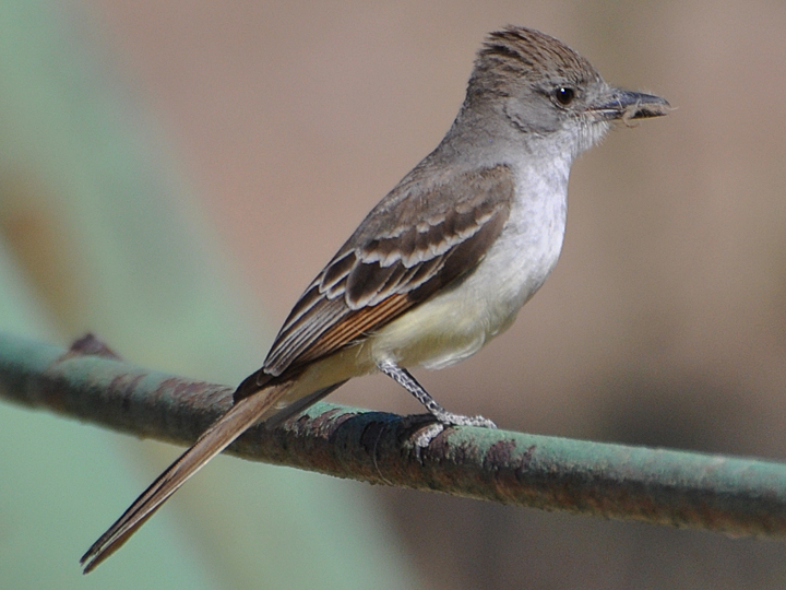 Ash-throated Flycatcher ATFL