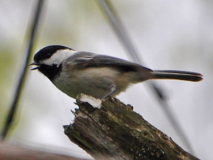 Black-capped Chickadee BCCH