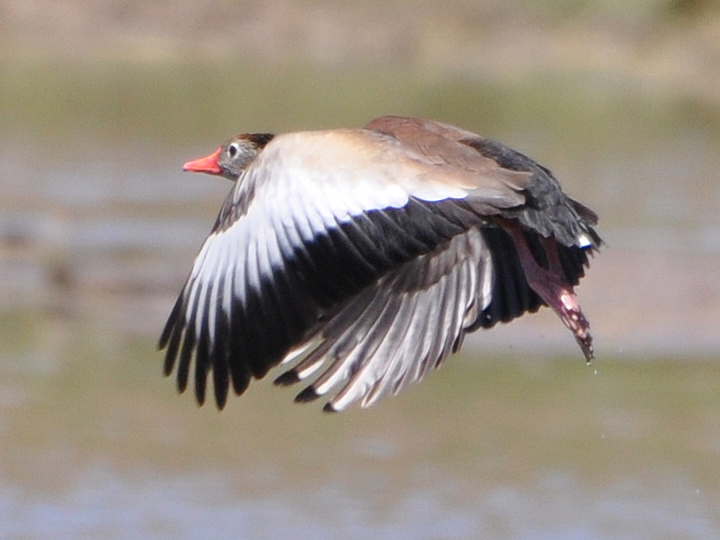Black-bellied Whistling-Duck BBWD