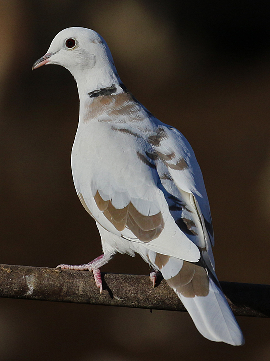 Eurasian Collared-Dove EUCD