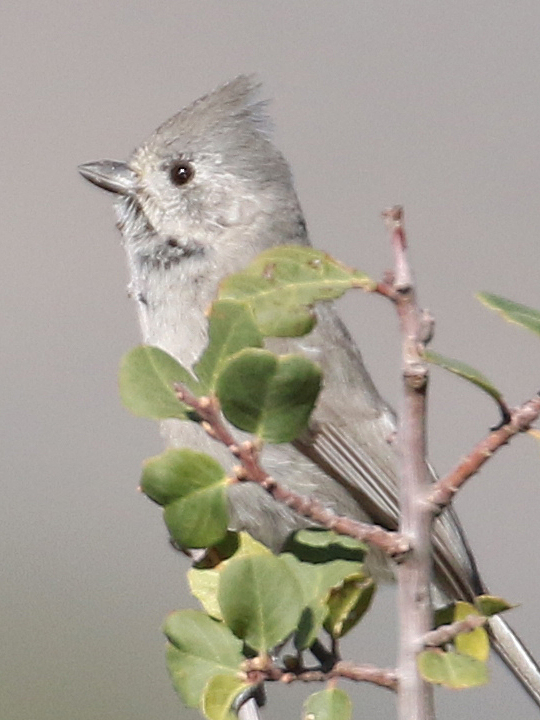 Juniper Titmouse JUTI