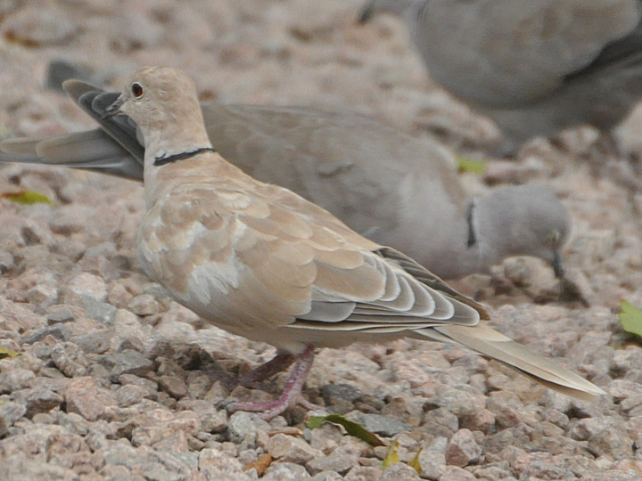 Ringed Turtle-Dove RITD