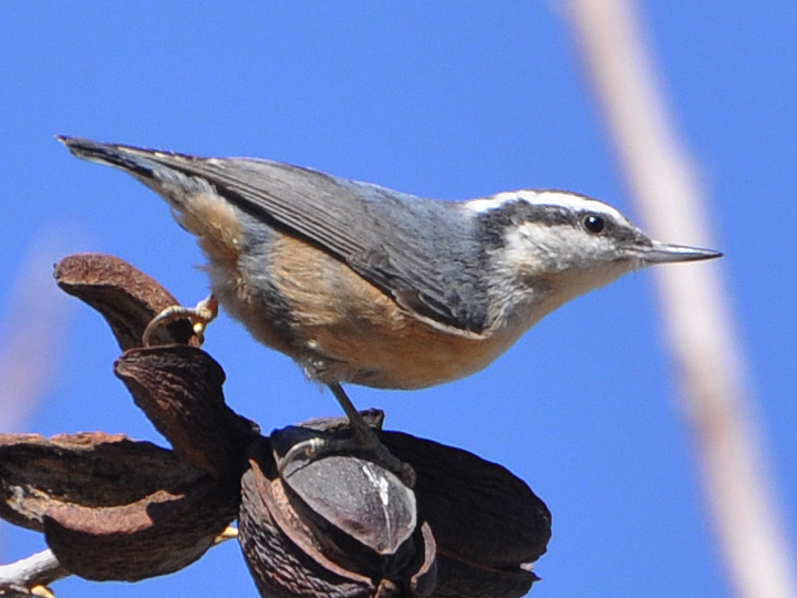 Red-breasted Nuthatch RBNU