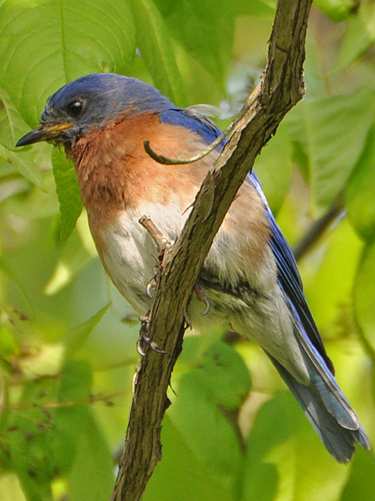 Eastern Bluebird EABL