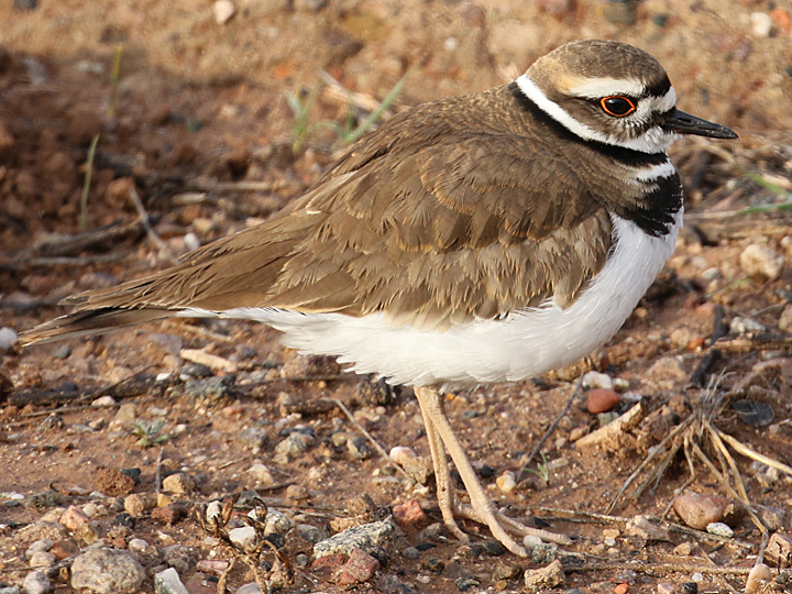 Killdeer KILL