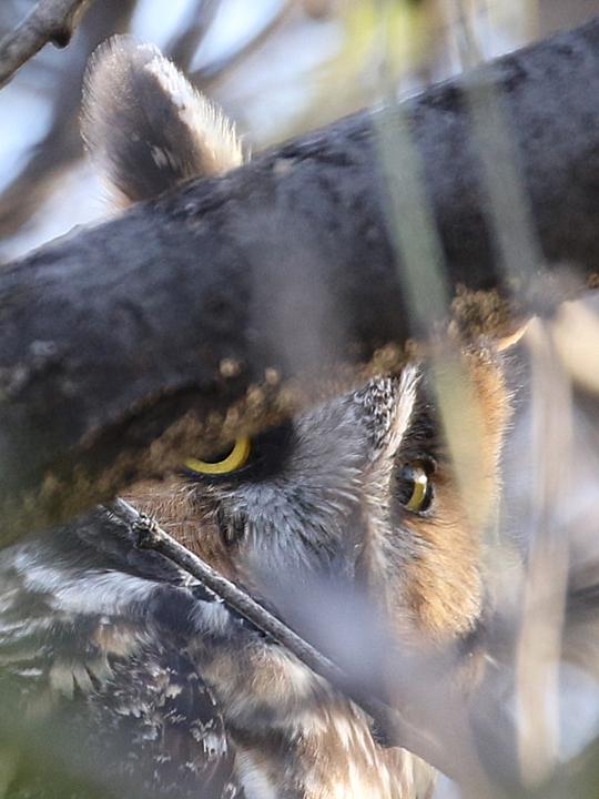 Long-eared Owl LEOW
