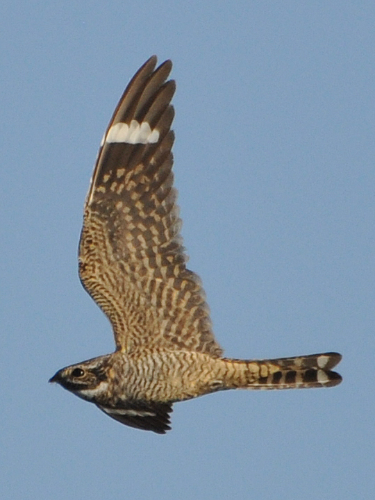 Lesser Nighthawk LENI