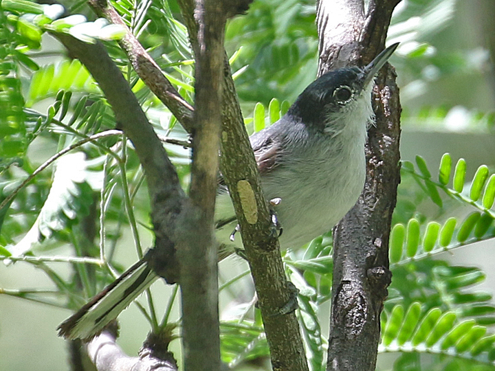 Black-capped Gnatcatcher BCGN