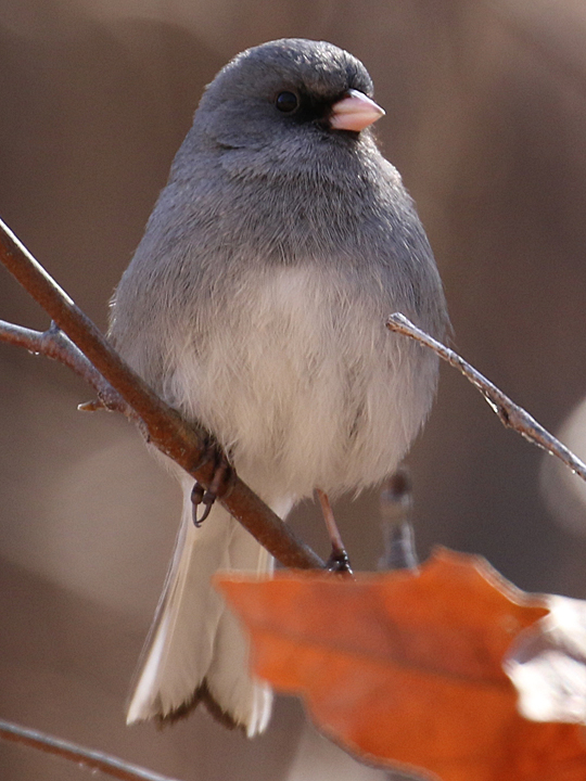 Dark-eyed Junco DEJU gray-headed