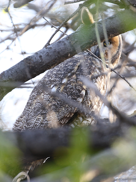 Long-eared Owl LEOW