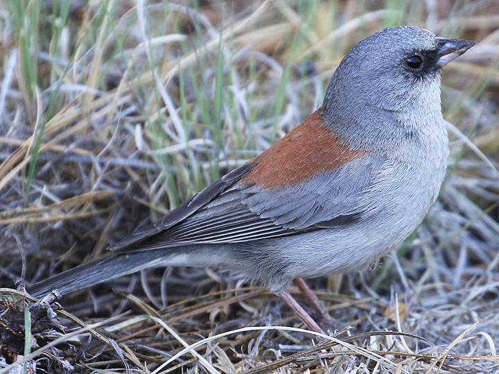 Dark-eyed Junco DEJU Red-backed