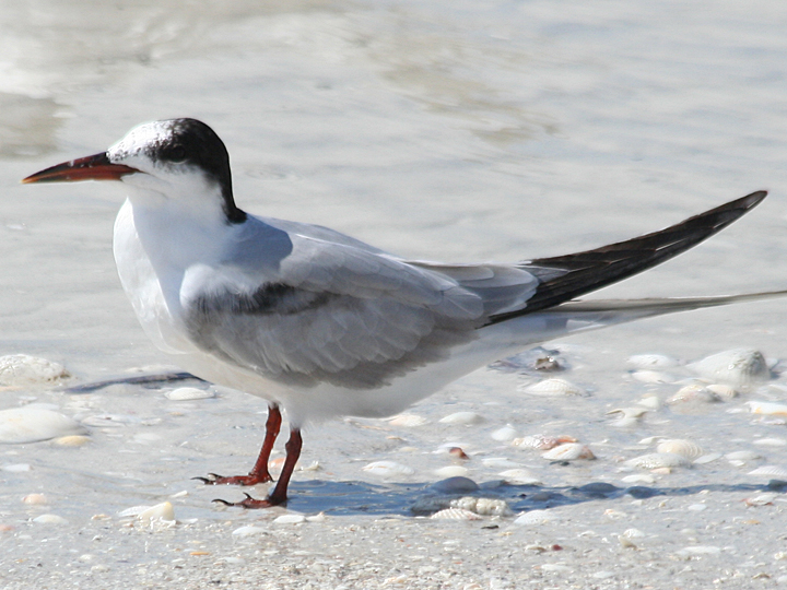 Common Tern COTE