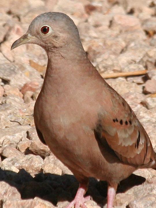 Ruddy Ground-Dove RUGD