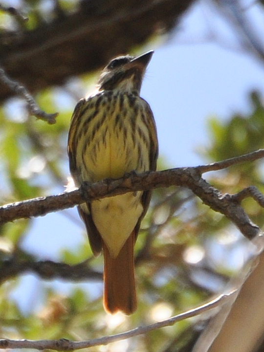 Sulpher-bellied Flycatcher SBFL