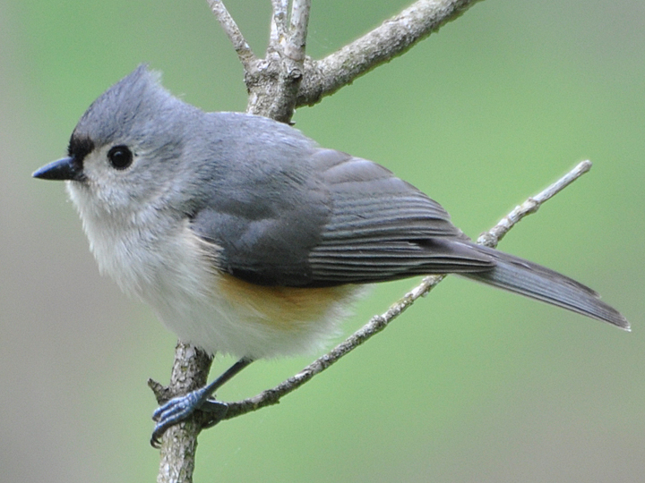 Tufted Titmouse TUTI