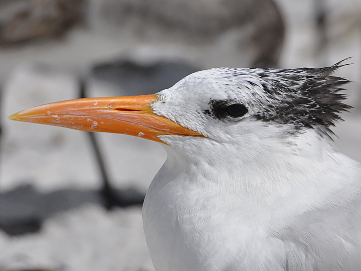 Royal Tern ROYT