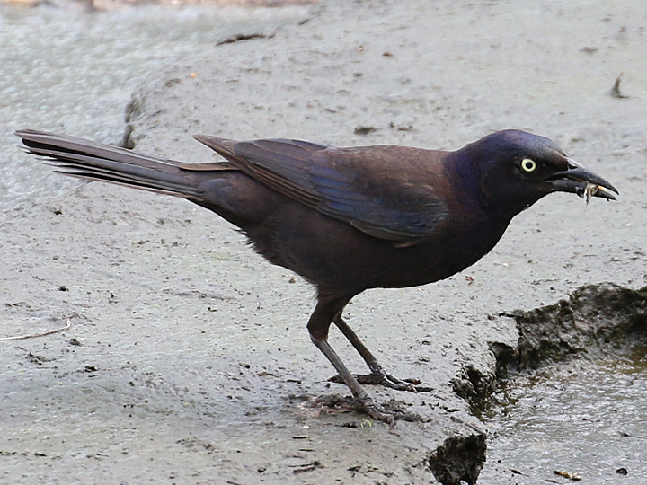Common Grackle COGR